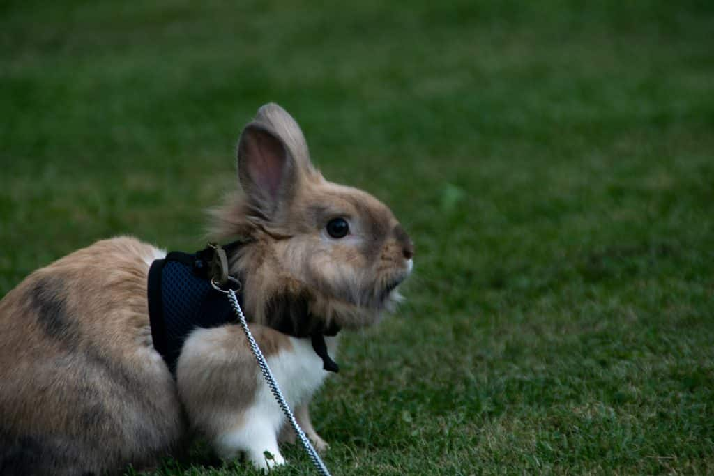 Selective focus shot of a cute rabbit with a harness on green grass