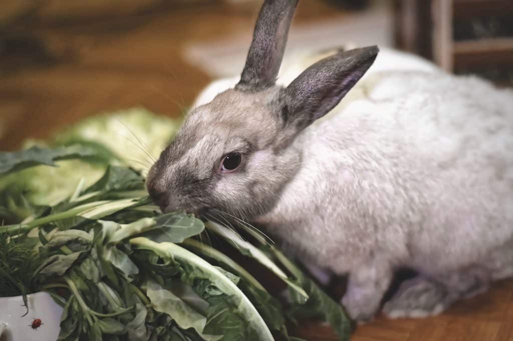 Can Rabbits Eat Spinach