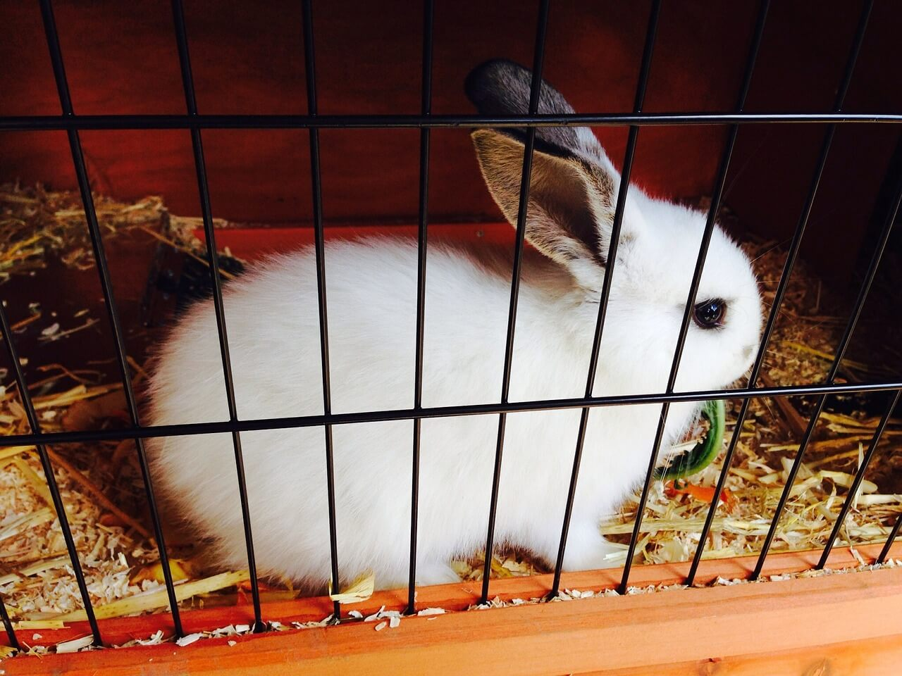 a white rabbit inside a wired cage with wooden shavings