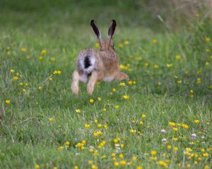 rabbit running in the field