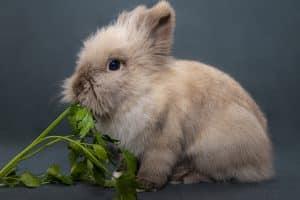 Is Celery Safe for Rabbits?