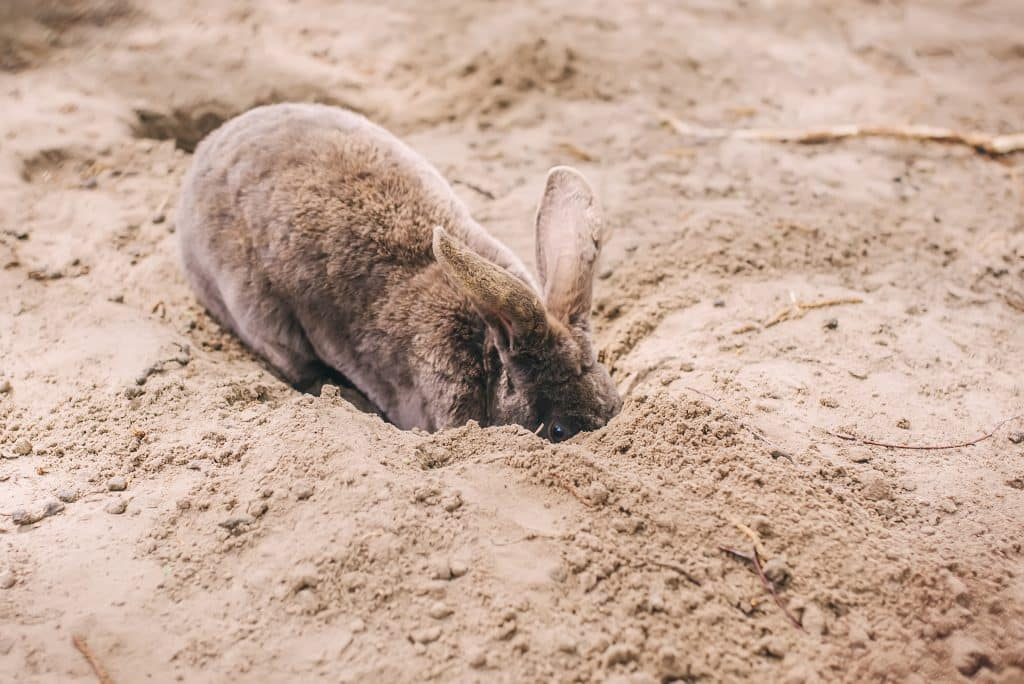 Cute brown dwarf rabbit digging a hole in the ground.