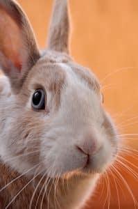 zoom in rabbit eyes