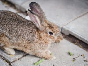 Can Rabbits Eat Green Beans