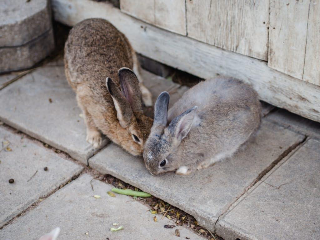 two rabbit eat vegetables